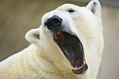 blackish blue yawn