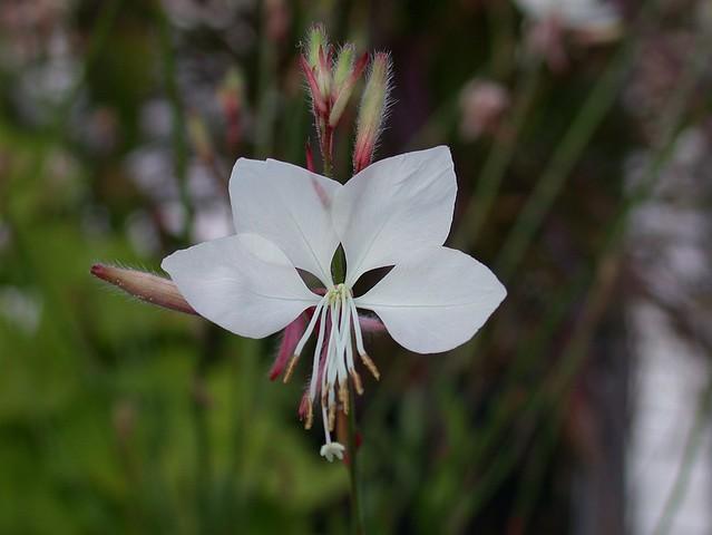 Oenothera a.k.a. Gaura lindheimeri