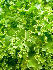 brassica(0.0), vegetable(0.0), produce(0.0), food(0.0), annual plant(1.0), lettuce(1.0), leaf(1.0), green(1.0),