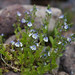 American alpine speedwell - Photo (c) Eric in SF, some rights reserved (CC BY-NC-ND)