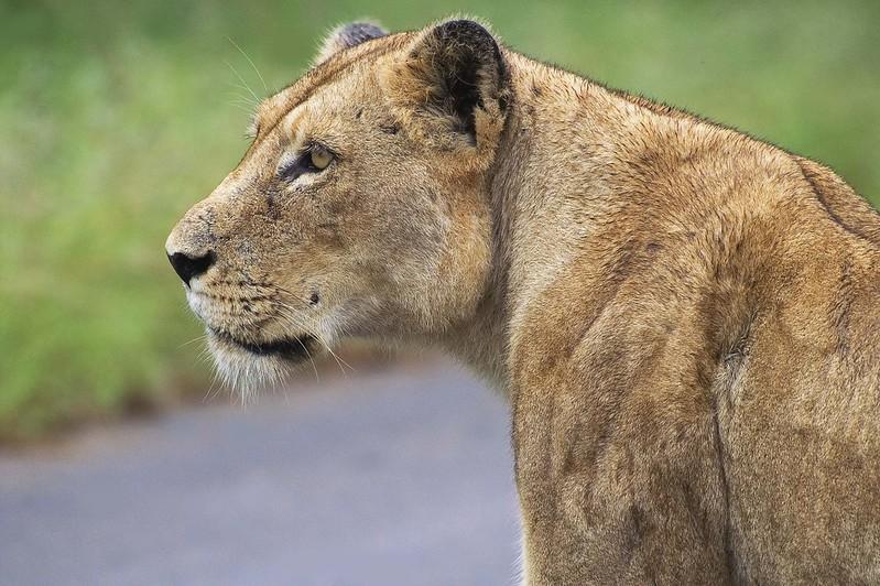 非洲獅。(來源:Arno Meintjes)