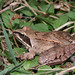 Agile Frog - Photo (c) Laurent Lebois, some rights reserved (CC BY)