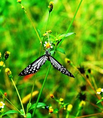Tiger butterfly in an unusual posture.(cropped)