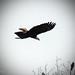 Bald Eagle in Flight by lovbrkthru