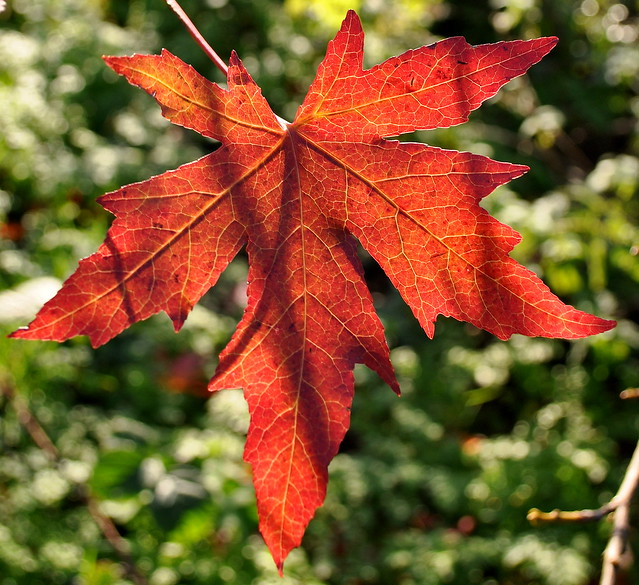 Go Sign Icon Sweet Gum leaf | Flick...