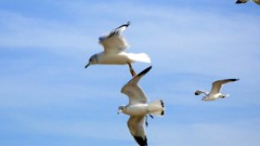 animal migration, animal, charadriiformes, wing, european herring gull, gannet, bird, flight, seabird,