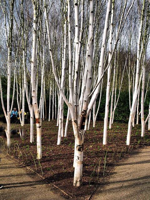 002 White tree trunks