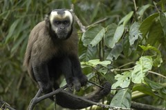 animal, monkey, tufted capuchin, mammal, fauna, old world monkey, new world monkey, macaque, ape, wildlife,