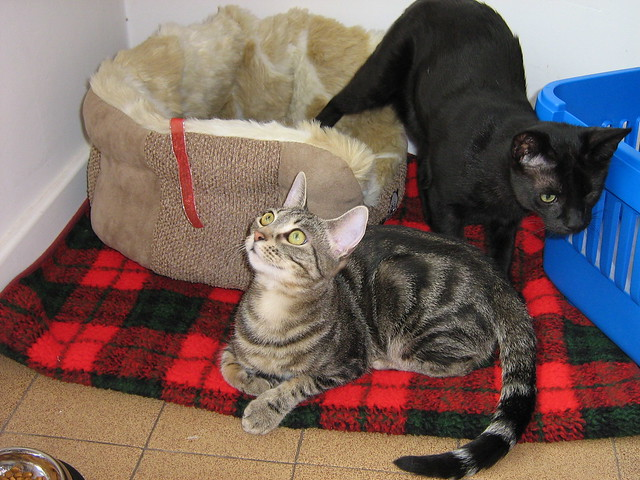 Cats Protection Legue Angus