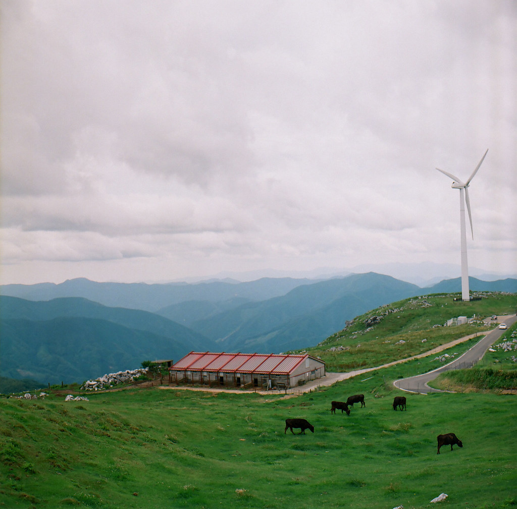 Five cows and red roofs