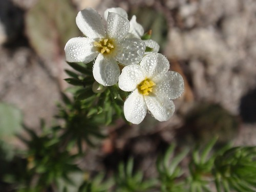 Sierra Linanthus