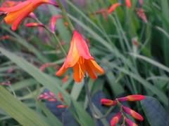 flower, plant, crocosmia 㗠crocosmiiflora, crocosmia, macro photography, wildflower, flora, petal,