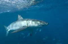 Great White Shark fast turn