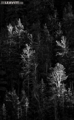 trees bw 20d forest canon nevada nv mtcharleston clarkcounty
