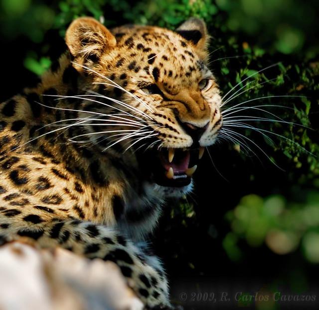 Leopard Growl: Flickr - Photo Sharing