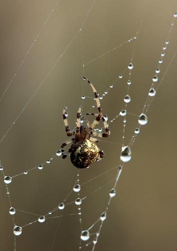 morning sunrise spider norfolk cobweb dew araneusdiadematus ithink castleacre watermeadows