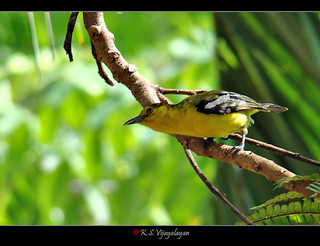 Common Iora, Thailand