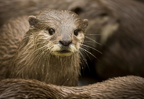 Oriental Short-Clawed Otter 2