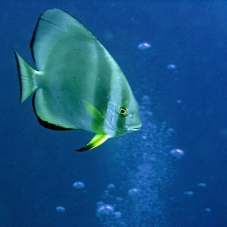 Batfish in the Red Sea