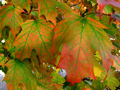 Acer saccharum - Sugar Maple fall leaves