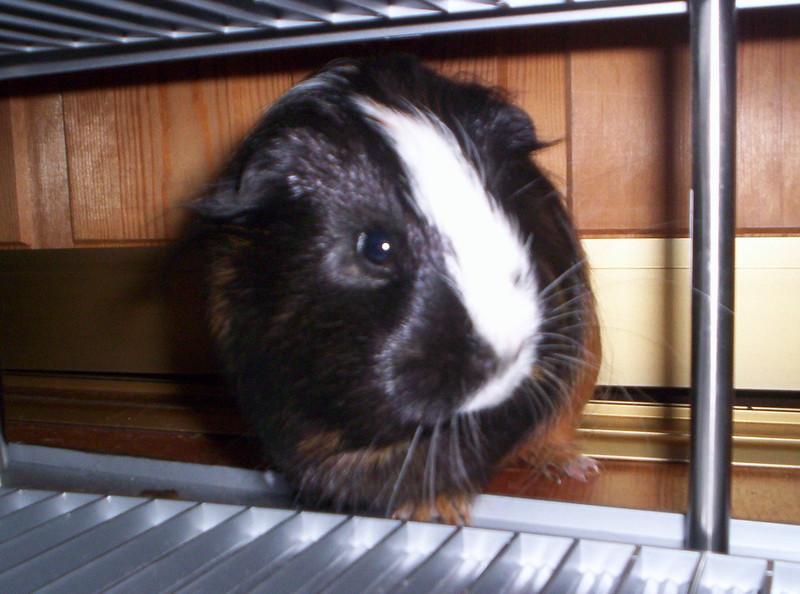 Guinea_pigs_#010