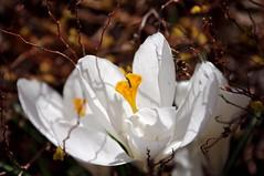 White Crocus
