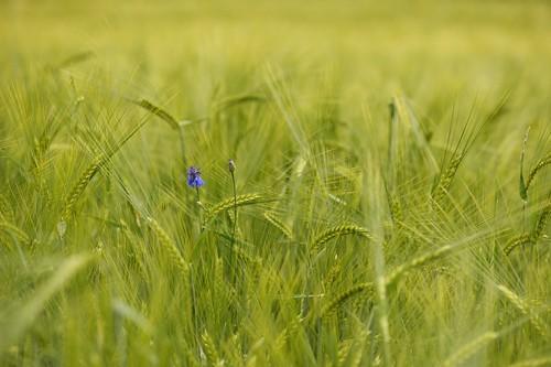 green field corn nikon feld middle korn mitten drin grün flickrduel d700 robertlesti