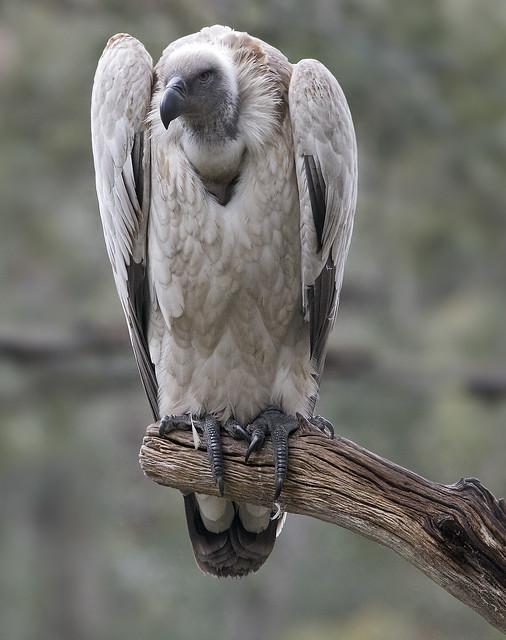 Cape Griffon vulture St. Augustine  Alligator Farm Florida