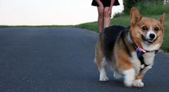 puppy(0.0), shiba inu(0.0), norwegian lundehund(0.0), dog breed(1.0), animal(1.0), dog(1.0), pet(1.0), mammal(1.0), pembroke welsh corgi(1.0), welsh corgi(1.0),