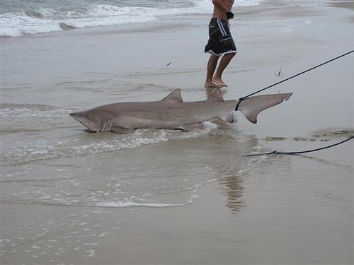 The poor man 39 s tiger texas shark fishing for Shark fishing panama city beach