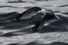 sea gull toronto-3