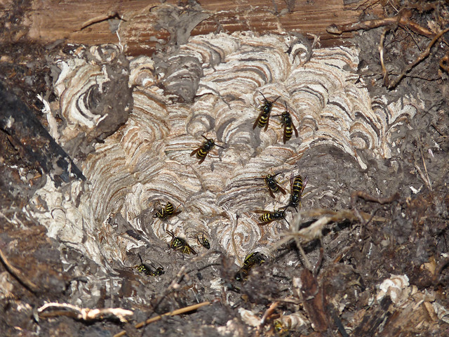 Yellow Jacket's nest | Flickr - Photo Sharing!