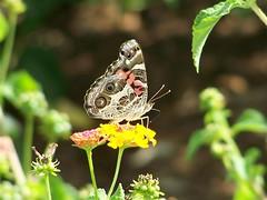 American Lady 'Vanessa virginiensis' Butterfly
