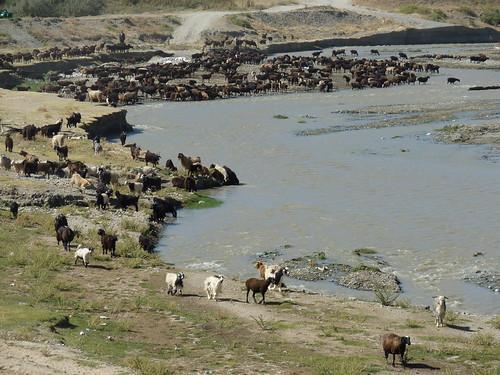 Kudde bij de drinkplaats nabij Jizzakh (opweg naar Tashkent) by Around2Seas