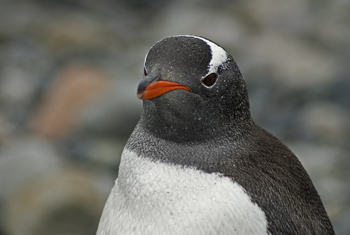 Penguin, petermann island by sharatkum
