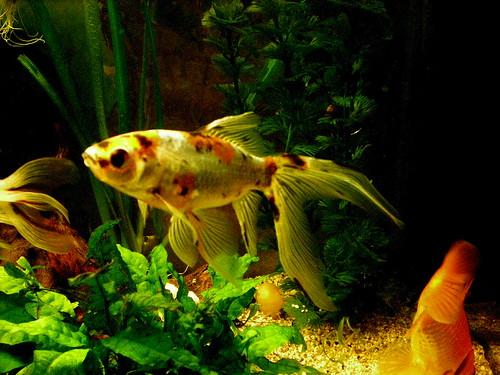 Clasificacion peces agua fria taringa for Los mejores peces de agua fria