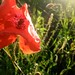 Small photo of Wheat (Triticum aestivum) and poppy (Papaver rhoeas)