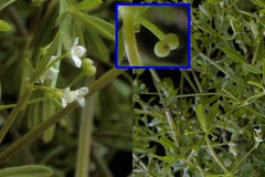 Galium obtusum Bigelow - Bluntleaf Bedstraw