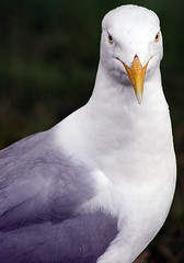 Portrait of Mr Gull