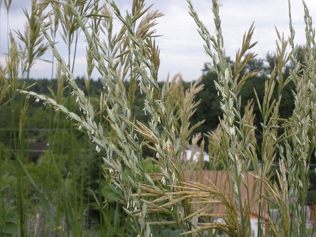 Header of Agropyron Intermedium