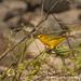 Yellow Warbler - Galapagos Island