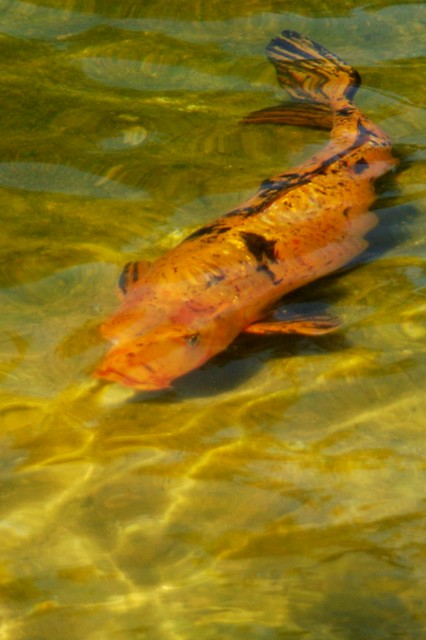 Calico koi orange black koi cyprinus carpio japanese for Calico koi fish