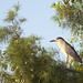 black-crowned night heron by amaw