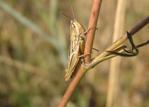 Euchorthippus declivus  - Sharp-tailed Grasshopper - Criquet des bromes - Sept 09