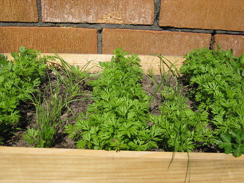 Container gardening:carrots and onions