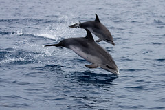 Pair of Jumping Dolphins