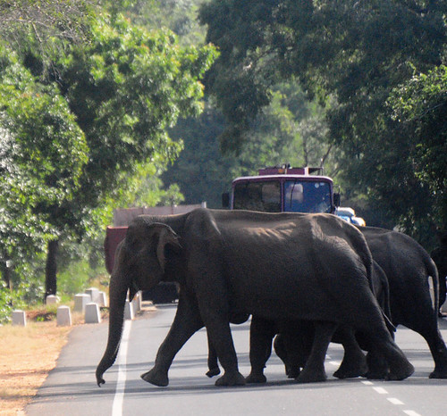 Wild Elephants are crossing the road, Sri Lanka