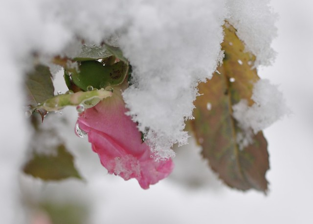 Last rose of summer... in SNOW! by victoriaporter *