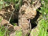 "<a href=""http://www.flickr.com/photos/bioforests/3763779323/"">Photo of Crotalus scutulatus by Guillermo S.</a>"