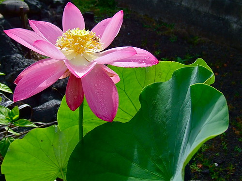 today's lotus